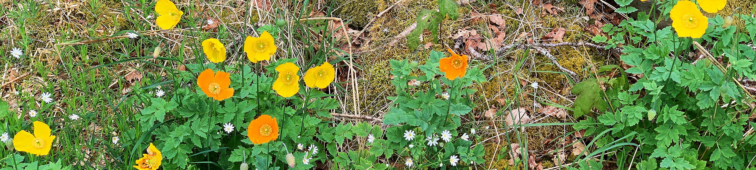 wild poppies stripw